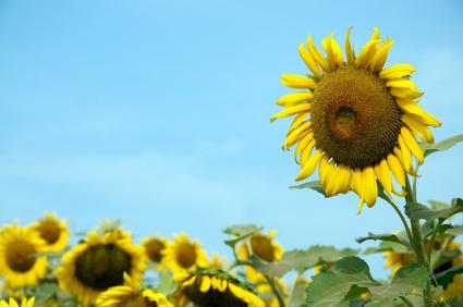 Taller sunflower